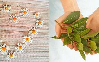Отвары для волос в домашних условиях: для роста волос из коры дуба и лаврового листа