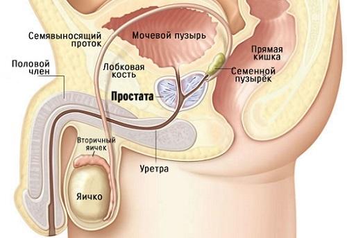 Размер и объем предстательной железы у мужчин - норма