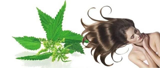 Отвар из крапивы для волос: отзывы, чем полезен, как сделать в домашних условиях
