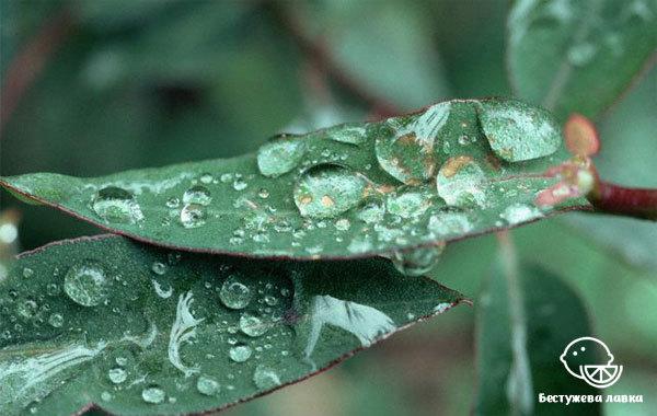 Масло эвкалипта для волос: свойства эвкалиптового дерева