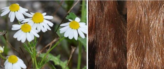 Осветление волос ромашкой: фото до и после, отзывы