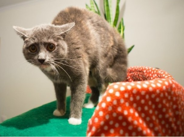 Залысины у кошки: возле ушей, причины появления и методы устранения проблемы
