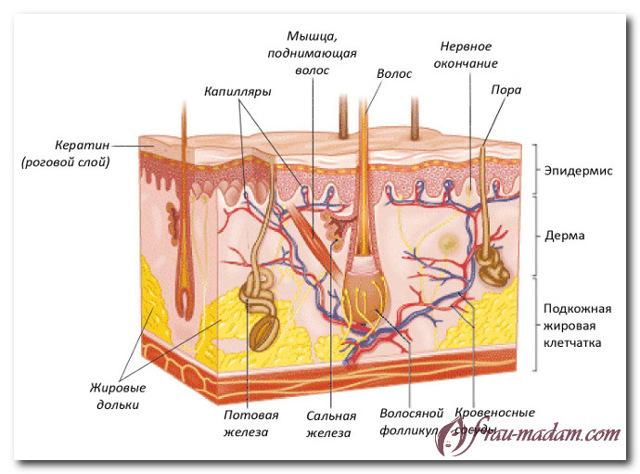 Строение волоса: структура и развитие волосяных фолликул человека
